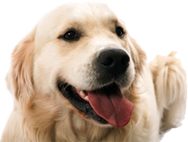 Golden retriever dog at dog friendly smythen farm holiday cottages by the sea in North Devon